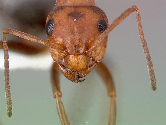 http://www.antweb.org/description.do?genus=formica&name=subnitens&rank=species