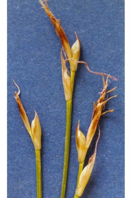 http://plants.usda.gov/gallery/large/cage2_001_lvp.jpg