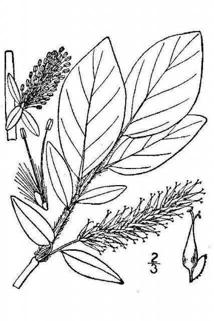 http://plants.usda.gov/java/largeImage?imageID=saba3_001_avd.tif
