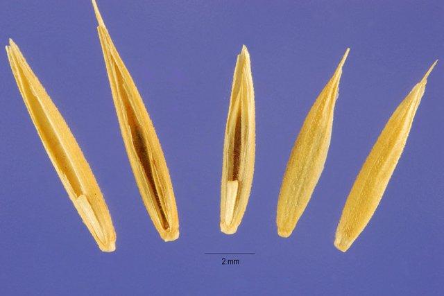 http://plants.usda.gov/java/largeImage?imageID=psju3_001_ahp.tif