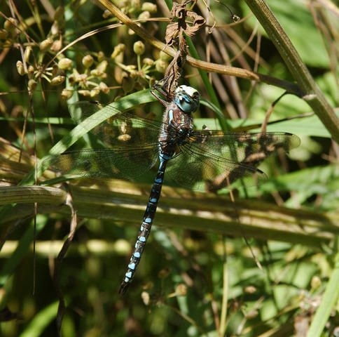 http://animaldiversity.ummz.umich.edu/site/resources/phil_myers/odonata/Aeshnidae/Aeshna_canadensis6190.jpg/view.html