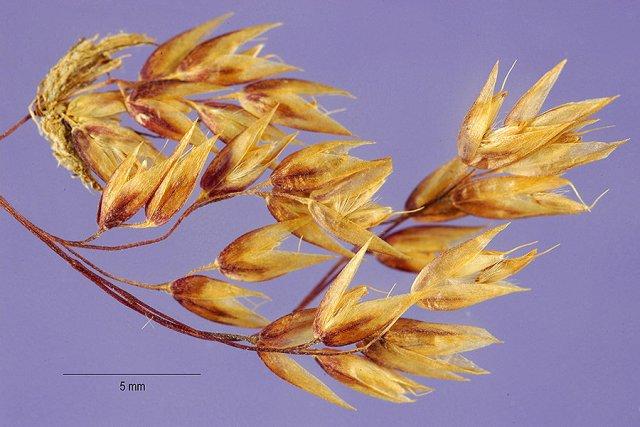 http://plants.usda.gov/gallery/large/deat2_004_lhp.jpg