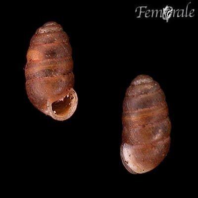 http://www.femorale.com/shellphotos/detail.asp?species=Pupilla%20muscorum%20(L.,%201758)