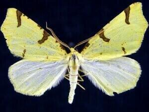 http://mothphotographersgroup.msstate.edu/species.php?hodges=6860