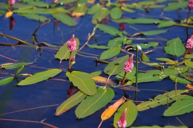 http://www.biopix.com/amphibious-bistort-persicaria-amphibia_photo-101290.aspx