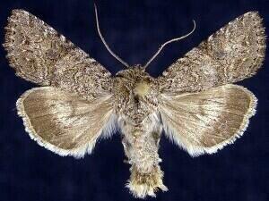 http://mothphotographersgroup.msstate.edu/species.php?hodges=10228