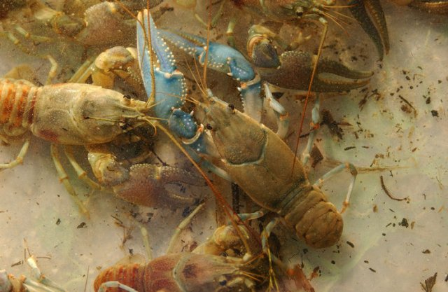 http://animaldiversity.ummz.umich.edu/collections/contributors/phil_myers/crustacea/mixed_orconectes1/