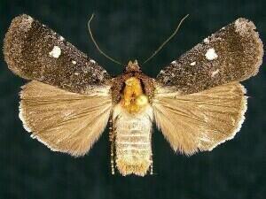 http://mothphotographersgroup.msstate.edu/species.php?hodges=11019