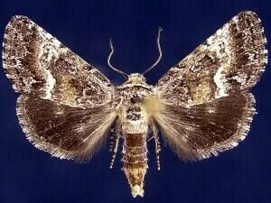 http://mothphotographersgroup.msstate.edu/species.php?hodges=10165