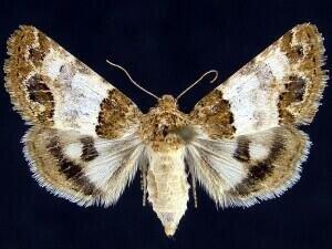 http://mothphotographersgroup.msstate.edu/species.php?hodges=11181