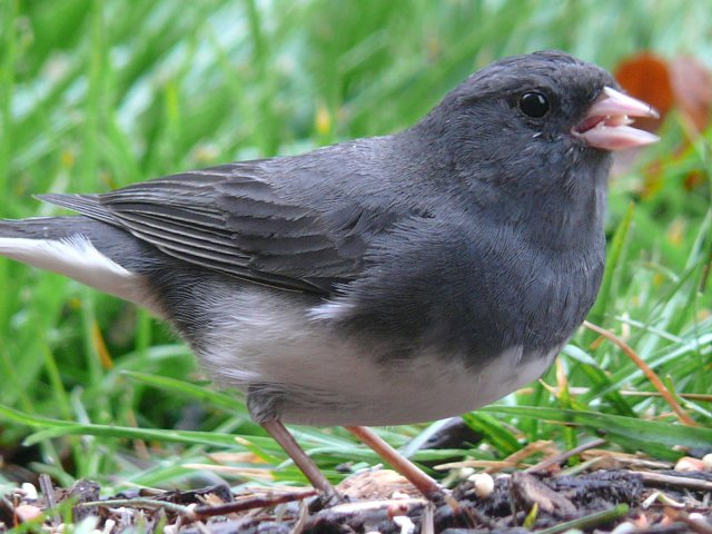 http://commons.wikimedia.org/wiki/File:Dark-eyed_Junco-27527-3.jpg