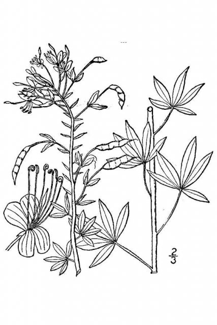 http://plants.usda.gov/java/largeImage?imageID=cllu2_001_avd.tif