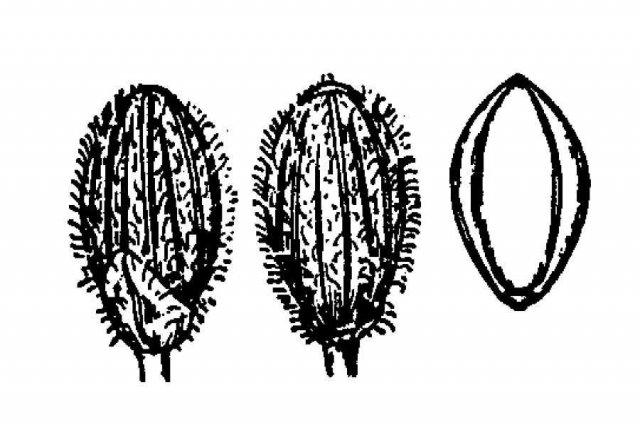 http://plants.usda.gov/java/largeImage?imageID=paau6_001_ahd.tif