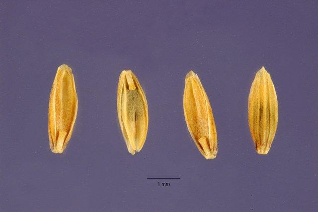 http://plants.usda.gov/gallery/large/glgr_002_lhp.jpg