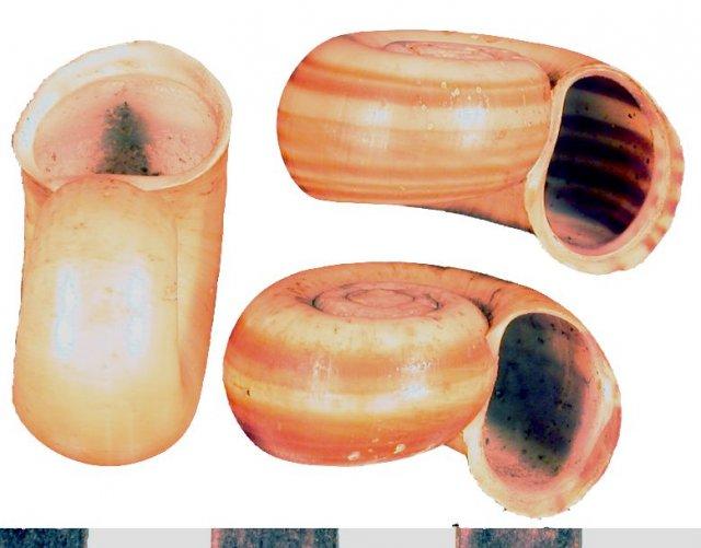 http://ampullariidae.lifedesks.org/image/view/295/_original