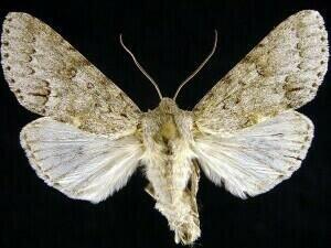 http://mothphotographersgroup.msstate.edu/species.php?hodges=9203