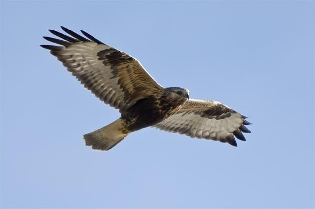http://www.biopix.com/rough-legged-buzzard-buteo-lagopus_photo-96557.aspx