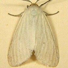 http://mothphotographersgroup.msstate.edu/species.php?hodges=8231