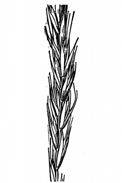 http://plants.usda.gov/java/largeImage?imageID=agsu_001_avd.tif