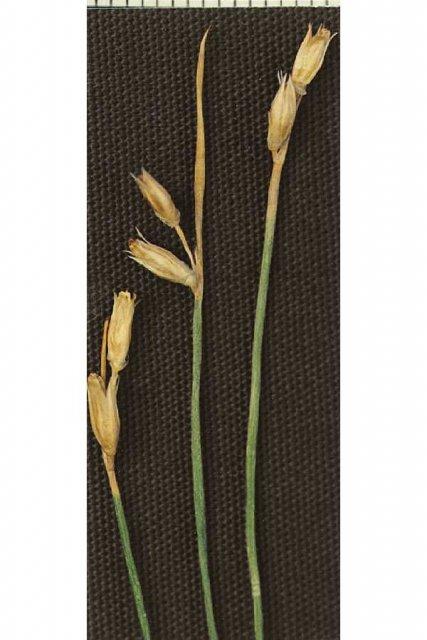 http://plants.usda.gov/java/largeImage?imageID=judr_003_avp.tif