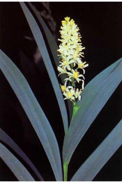 http://plants.usda.gov/gallery/large/smst_001_lvp.jpg