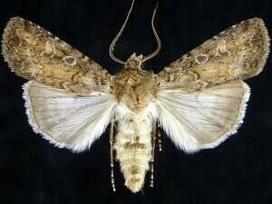 http://mothphotographersgroup.msstate.edu/species.php?hodges=10727