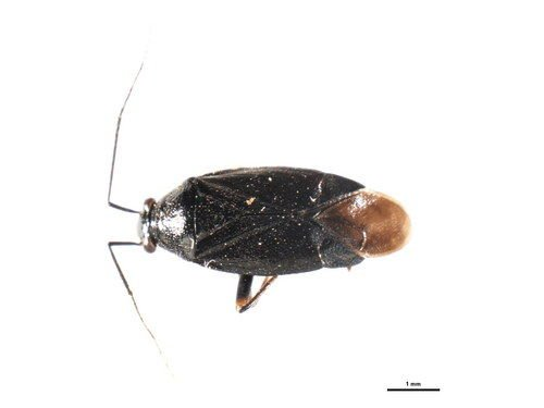 http://www.boldsystems.org/views/taxbrowser.php?taxon=Irbisia+fuscipubescens