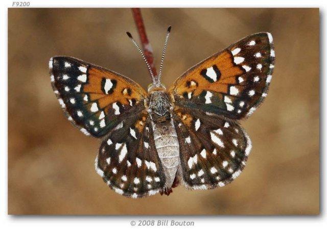 http://butterfliesofamerica.com/apodemia_mormo_cottonwood_seg_live1.htm