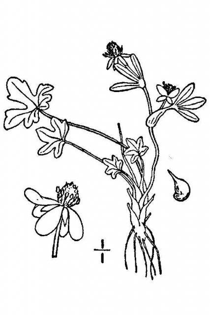 http://plants.usda.gov/java/largeImage?imageID=rapy_001_avd.tif