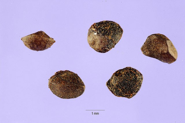 http://plants.usda.gov/java/largeImage?imageID=ripe2_001_ahp.tif