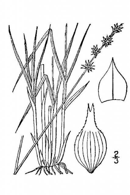 http://plants.usda.gov/java/largeImage?imageID=cale33_001_avd.tif