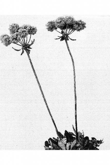 http://plants.usda.gov/java/largeImage?imageID=ersu11_001_avp.tif