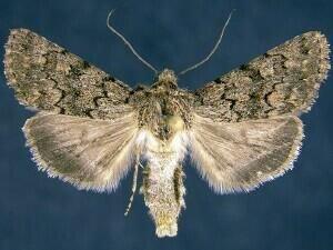 http://mothphotographersgroup.msstate.edu/species.php?hodges=10077.1