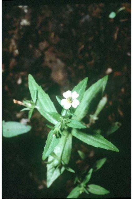 http://plants.usda.gov/gallery/large/grne_001_lvp.jpg