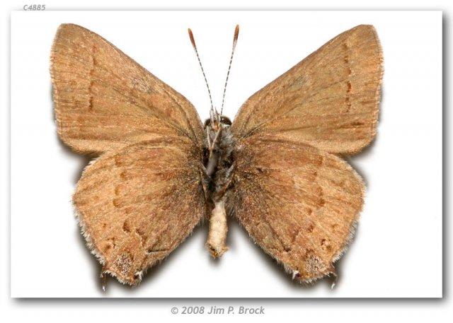 http://butterfliesofamerica.com/images/Theclinae/eumaeini/Satyrium_saepium_chalcis/Satyrium_saepium_chalcis_M_USA_CA_San_Luis_Obispo_Co_Hi_Mtn_5_mi_S_of_Pozo_04-VII-75_3.jpg