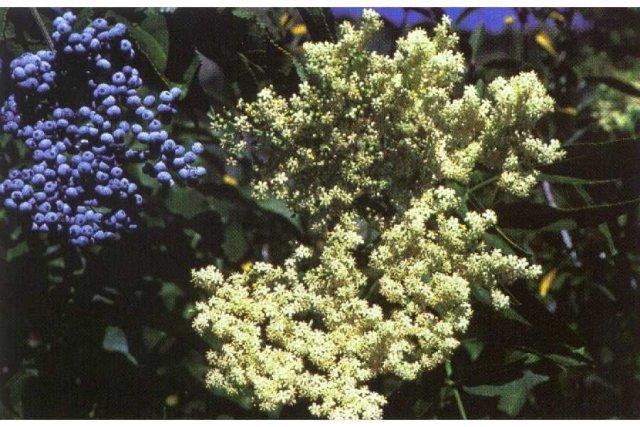 http://plants.usda.gov/java/largeImage?imageID=sace3_001_ahp.tif