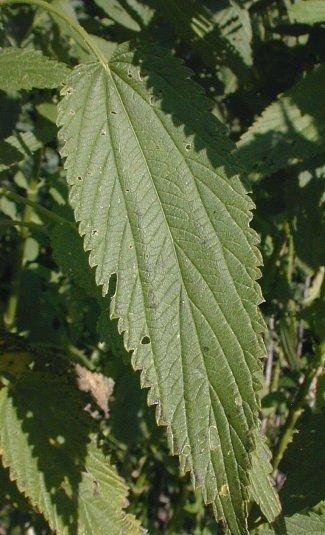http://www.illinoiswildflowers.info/savanna/plants/sl_nettle.htm