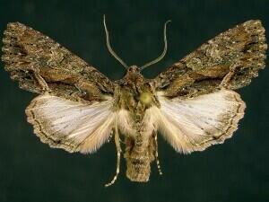 http://mothphotographersgroup.msstate.edu/species.php?hodges=9970