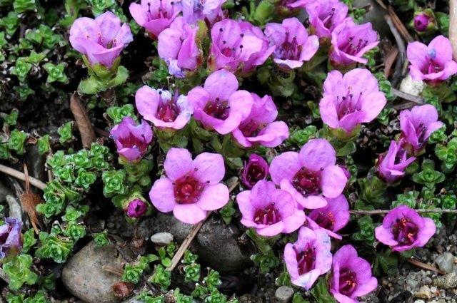 http://www.biopix.com/purple-saxifrage-saxifraga-oppositifolia_photo-67990.aspx