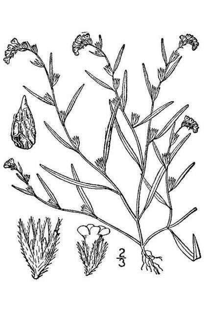 http://plants.usda.gov/java/largeImage?imageID=alsc7_001_avd.tif