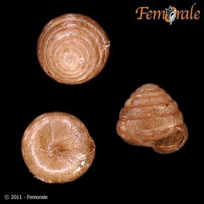 http://www.femorale.com/shellphotos/detail.asp?species=Euconulus%20chersinus%20(Say,%201821)