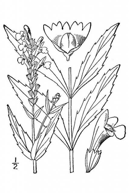 http://plants.usda.gov/java/largeImage?imageID=drnu2_001_avd.tif