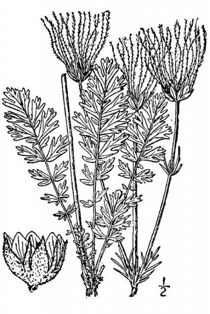 http://plants.usda.gov/java/largeImage?imageID=sici3_001_avd.tif