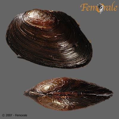 http://www.femorale.com/shellphotos/detail.asp?species=Anodonta%20oregonensis%20Lea,%201838