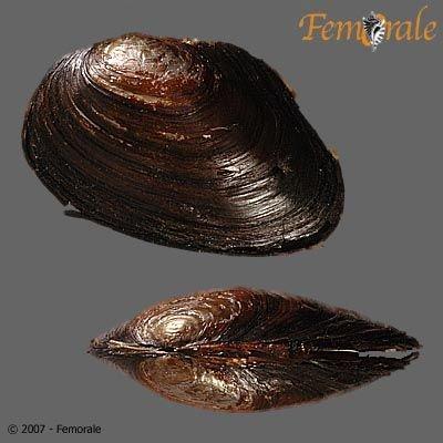 http://www.femorale.com/shellphotos/detail.asp?species=Anodonta%20oregonensis%20Lea,%201838
