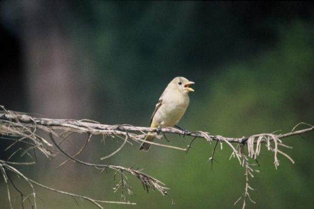 http://animaldiversity.ummz.umich.edu/site/resources/usfws/westerntanager3.jpg/medium.jpg