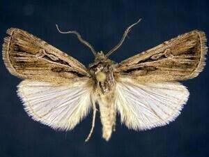 http://mothphotographersgroup.msstate.edu/species.php?hodges=10768
