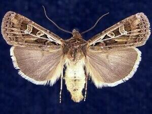 http://mothphotographersgroup.msstate.edu/species.php?hodges=10861