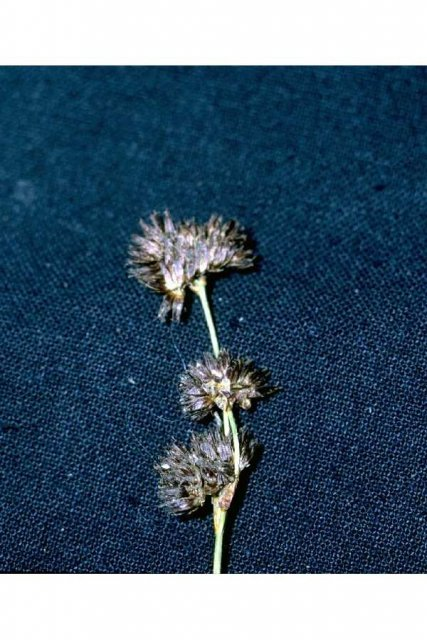 http://plants.usda.gov/java/largeImage?imageID=julo_002_avp.tif