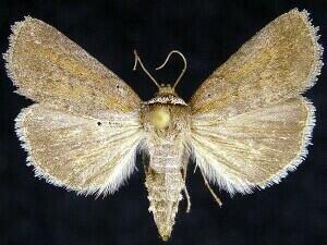 http://mothphotographersgroup.msstate.edu/species.php?hodges=10062